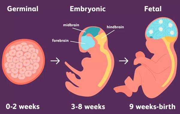 Stages of Prenatal Development