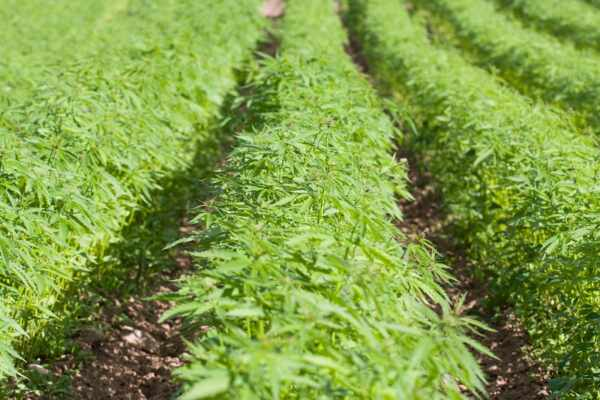 farming hemp